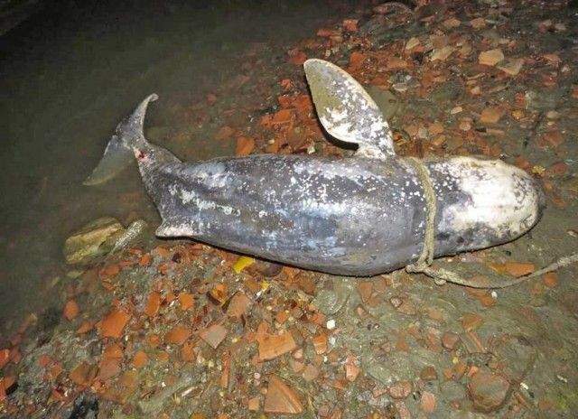 Ayeyarwady dolphin found dead in Mandalay